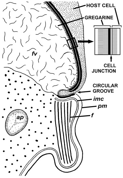 Diagram of the contact between the gregarine and the host cell as inferred from TEM micrographs.