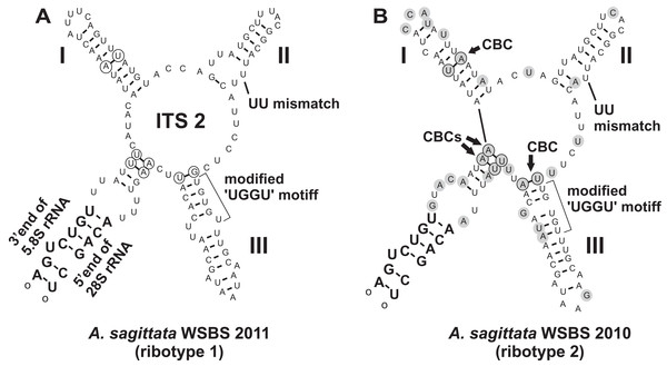 Predicted secondary structures of ITS2 transcripts of two Ancora sagittata ribotypes demonstrating differences between them.
