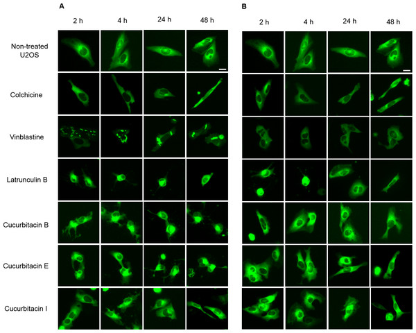 Cucurbitacins changed the morphology of microtubule network in U2OS cells.