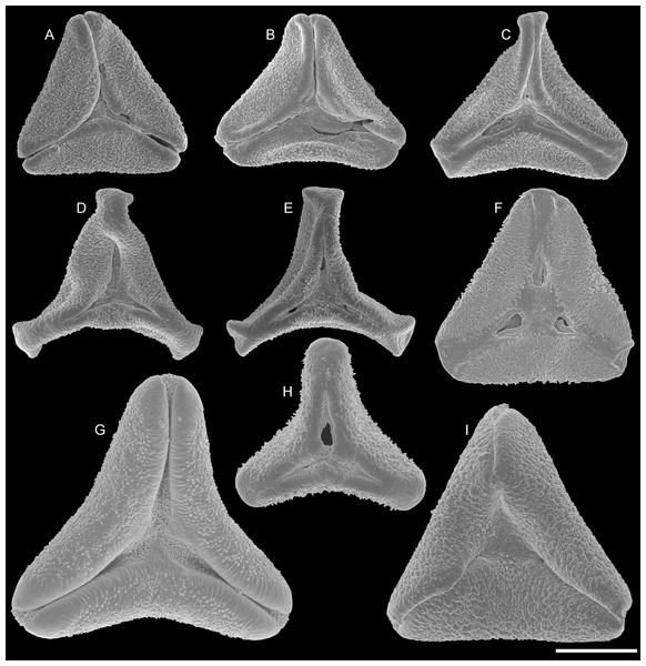 SEM micrographs of fossil Loranthaceae pollen with affinity to Elytrantheae and extant representatives.