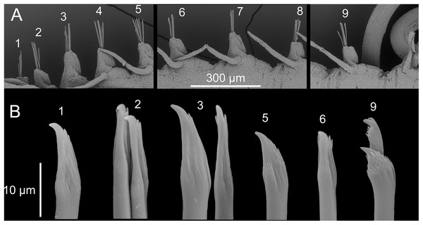 Proceraea exoryxae sp. nov. SEM micrographs of chaetae structure [MNCN 16.01/17719].