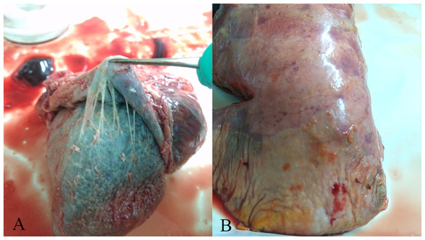 Gross lesions in H. parasuis infected pigs.