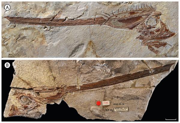†Babelichthys olneyi, gen. et sp. nov., holotype.