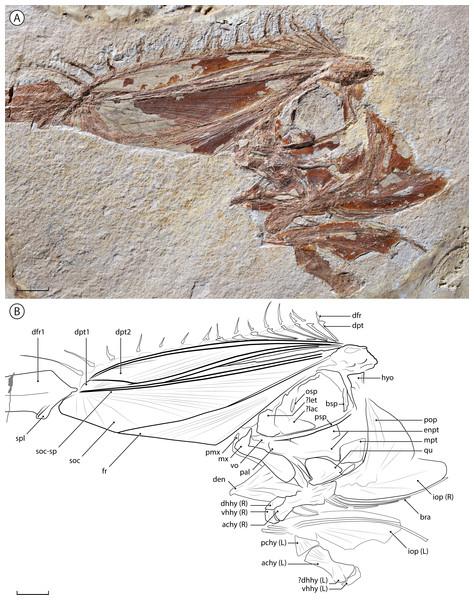 †Babelichthys olneyi, gen. et sp. nov. holotype MNHN.F.EIP11d.