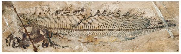 †Protolophotus elami, holotype MNHN.F.EIP10d.