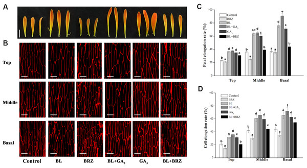 The effects of BRs and GAs on cell elongation of petals in G. hybrida.