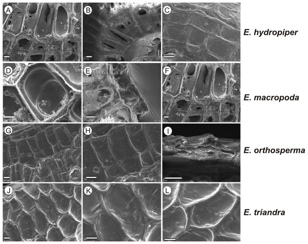 The diversity in seed coat micromorphology of Elatine hydropiper (a - hydHu, b, c - hydPL1); E. macropoda (a, b -macIT; c–macSP), E. orthosperma (a, b -ortCZ; c - ortFI1), E. triandra (a–triHU; b, c–triPL1).