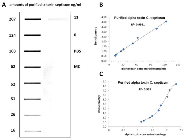 Slot blot analysis for the quantification of different concentrations of purified alpha toxin.