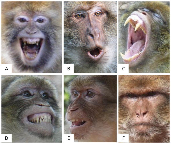The six pictures presenting the six Barbary macaques' facial expressions related to the four emotional stated tested.