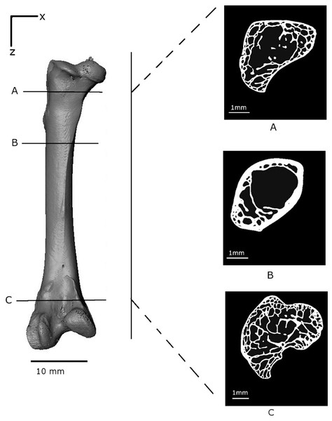 Volume reconstruction of the Branta leucopsis femur prior to loading (scan 0).