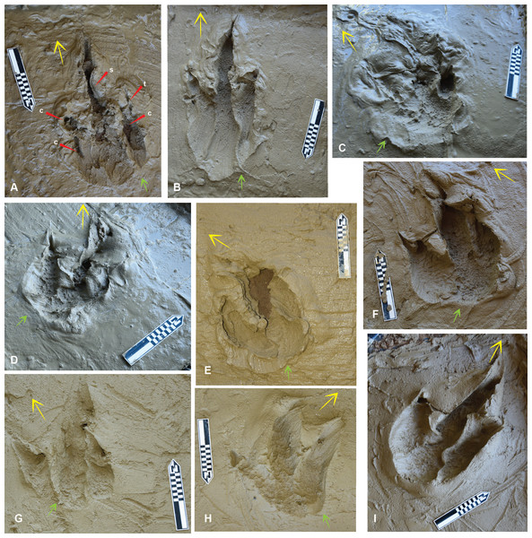 The Australovenator prints that were measured and compared with prints from the DSNM Lark Quarry.