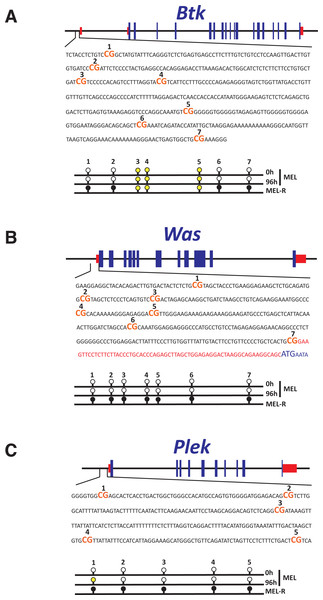 Methylation status of the Btk, Was and Plek promoters at the HMBA-resistant cells.