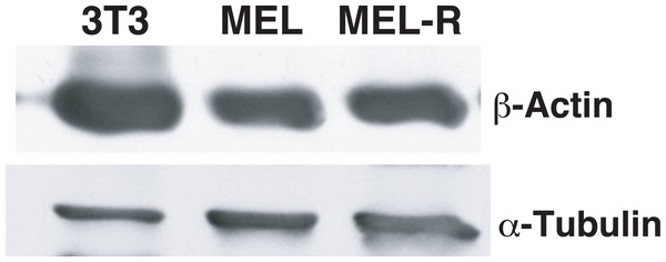 Actin protein is equally abundant in progenitor and resistant MEL cells.