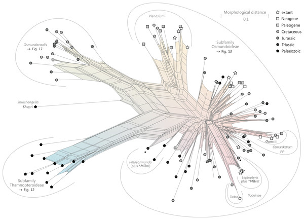 Planar network (neighbour-net) for all operational units of family Osmundaceae.