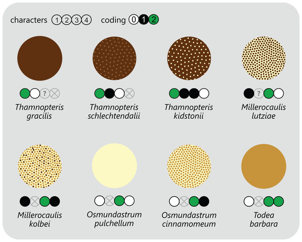 Diagram showing different tissue compositions of selected types of osmundalean stem cores as seen in cross-section through the stem core, together with the respective character scoring used in the matrix (for definition of characters and of character states see text).