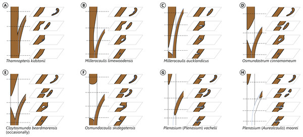 Diagram illustrating different modes of leaf-trace formation in selected types (A–H) of osmundalean stems, each showing a stem radial section through the centre of the developing trace and the resulting aspects of four successive cross-sections.
