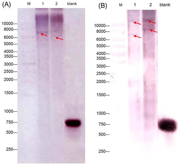 Southern blotting analysis of CiGAD1 (A) and CiGAD2 (B).