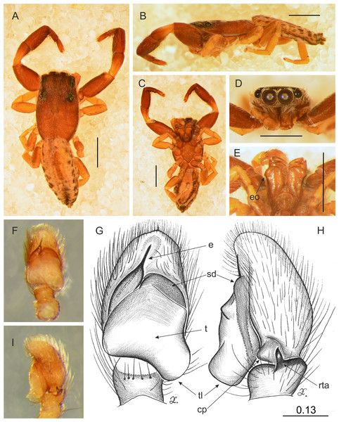 Trite pollardi sp. n. (holotype). (A) Dorsal view (B) lateral view (C) ventral view (D) frontal view (E) Endites and labium (F–G) Left palp ventrally (H–I) same, retrolaterally. Scale bar: Figs (A–E) = 1 mm, (G–H) as in fig.