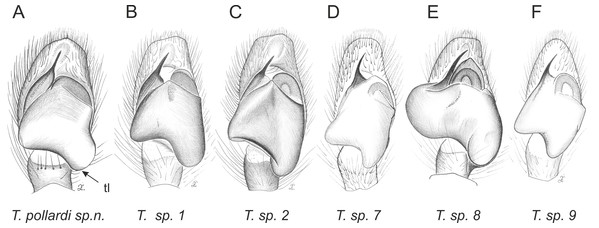 Palpal organ variety in Trite species (incognita-group) from New Zealand; tl, tegular lobe is more distinctive and tegulum is wider than in the planiceps-group.
