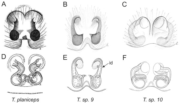 Epigyne and internal genitalia in Trite species (planiceps-group) from New Zealand; id, insemination duct; distinctive for the group.
