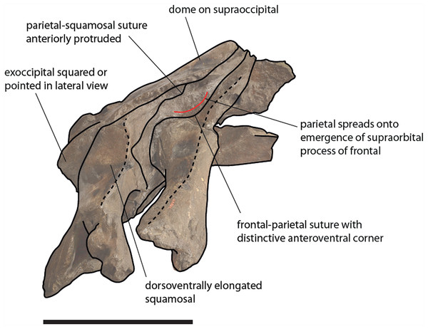 Schematic representation of diagnostic characters observed in the holotype skull of Eubalaena ianitrix in right lateral view.