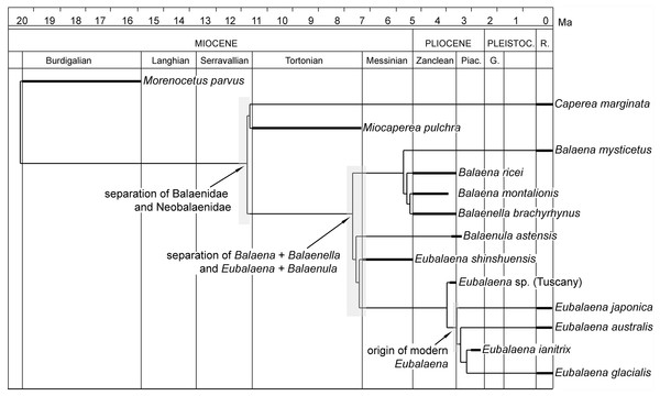 Phylogenetic relationships of Balaenidae plotted against temporal scale.