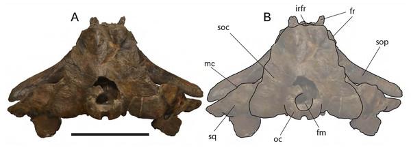 Eubalaena ianitrix sp. nov. (holotype RBINS M. 879).
