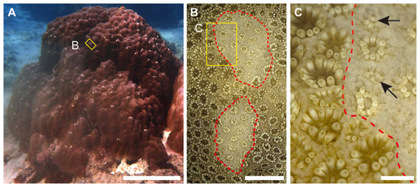 Grazing scars on the surface of massive Porites.