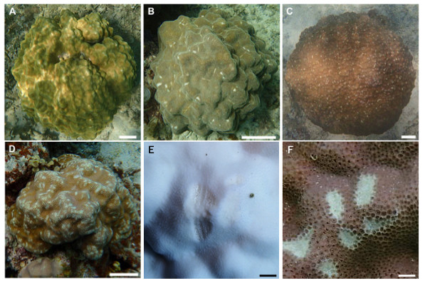 Images showing the degree of scarring on massive Porites in the field.
