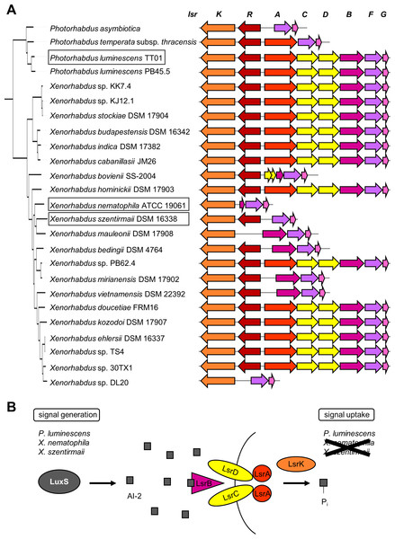 (A) Occurrence of the lsr operon in 25 analyzed Xenorhabdus and Photorhabdus strains.