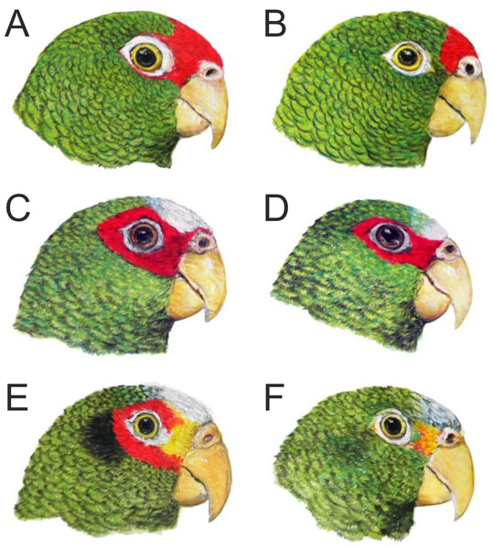 Head coloration in the male (A) and female (B) of the new Amazona in comparison to both sexes of congeners Amazona albifrons nana (C, male; D, female) and Amazona xantholora (E, male; F, female), also from the Yucatán Peninsula, Mexico.