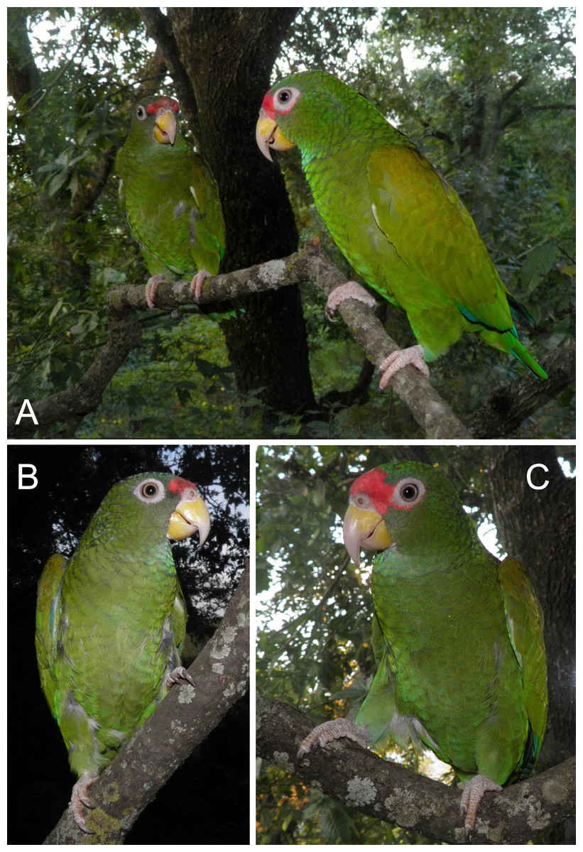 A new parrot taxon from the Yucatán Peninsula, Mexico—its position