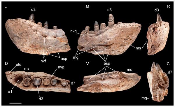 Left dentary of Razanandrongobe sakalavae.