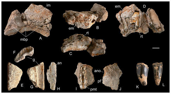 Selected cranial fragments and an isolated tooth referred to R. sakalavae.