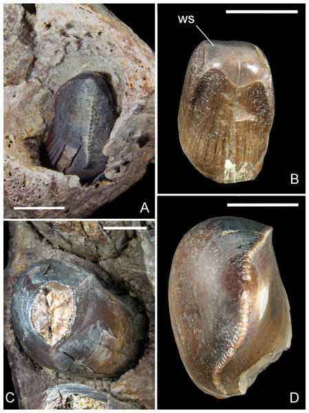 Mesial and lateral teeth of R. sakalavae.