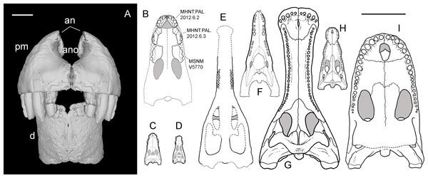 Snout reconstruction and size comparisons.