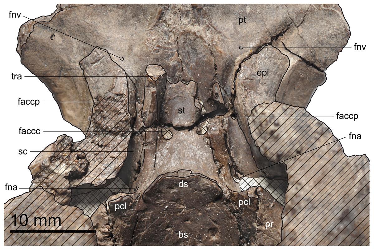 The Comparative Osteology Of Plesiochelys Bigleri N Sp A New Illustration Based On Diagram By Lehman Marks Phd Used With Mjsn Tch006 1451 Paratype Kimmeridgian Porrentruy Switzerland