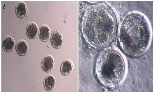 The development of bovine androgenetic embryos (×200).