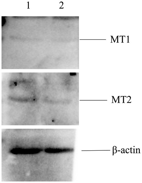 Proteins of MT1 and MT2 in the morula stage of parthenogenetic and androgenetic embryos detected by the Western blotting method.