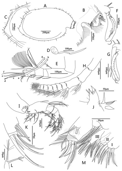 Line drawings of Euphilomedes biacutidens sp. nov., ♂.