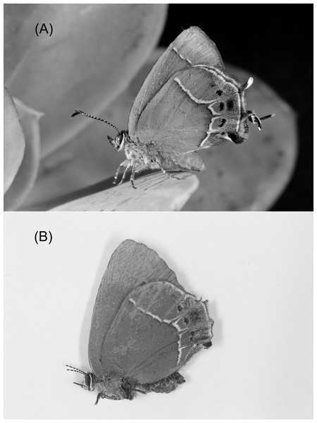 Callophrys xami (A) with hindwing tails intact (control) and (B) with hindwing tails experimentally ablated (dead experimental specimen with broken antennae).