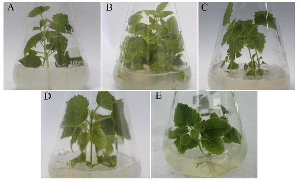 Change of the morphology of Paulownia seedlings.