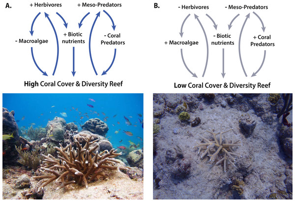 Trophic interactions and feedback loops between corals and reef inhabitants.