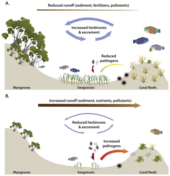 Potential effects of long-distance interactions on coral transplants (A) with and (B) without adjacent, healthy mangrove and seagrass habitats.