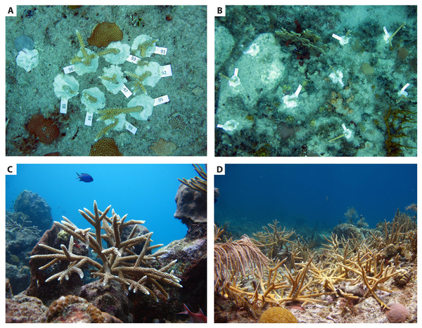 Manipulations of coral transplant density and spacing during restoration.