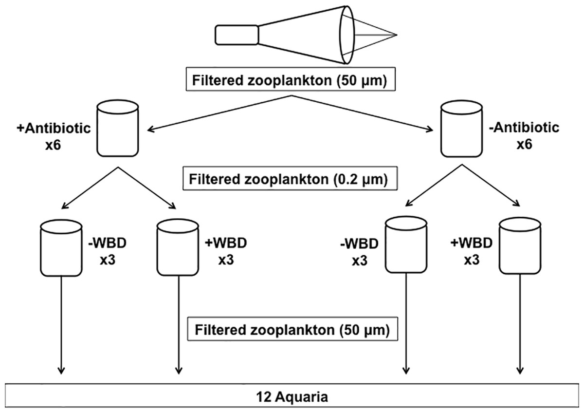 Zooplankton As A Potential Vector For White Band Disease