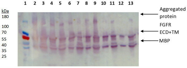Western blot of detergent extractions of large-scale expression constructs FGFR2 and FGFR3 ECD + TM.