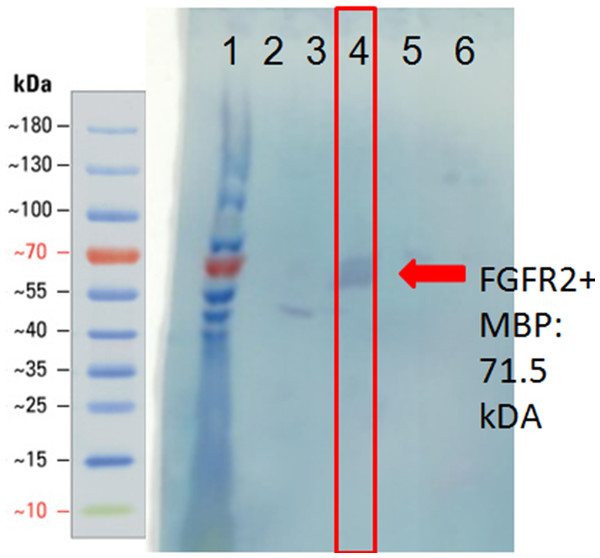 Western blot of heparin affinity column purification fractions using anti-MBP antibody.