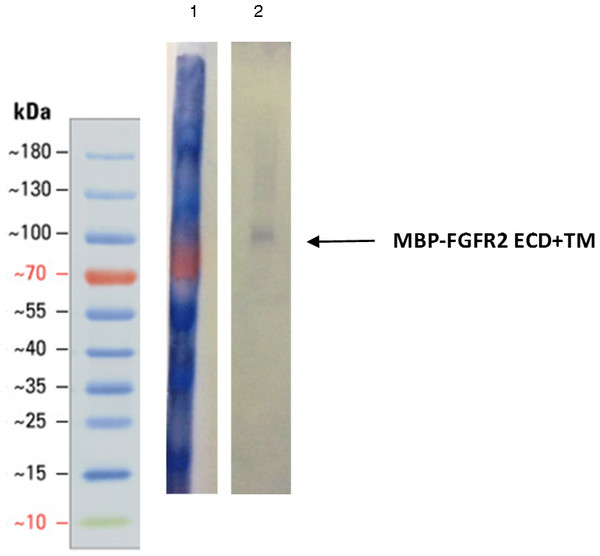 Western blot of the first peak from SEC using anti-MBP antibody.