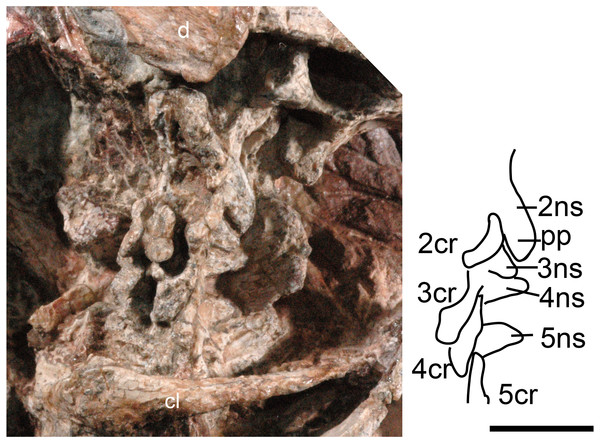 Boreogomphodon (NCSM 20711), cervical vertebrae and ribs 2 to 5 in lateral view.